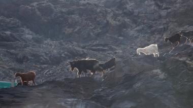 48-Bouc et chèvres