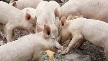 67-Cochons mangent